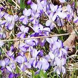 155x155_Tripudio-di-viole
