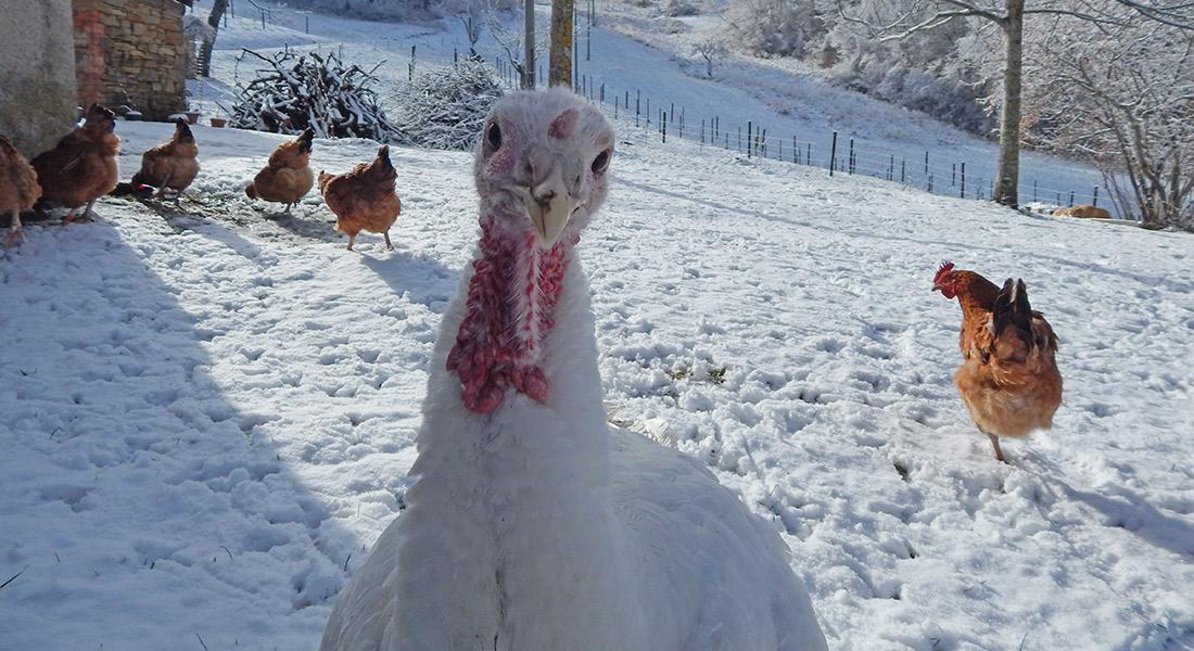 Turkey-snow2