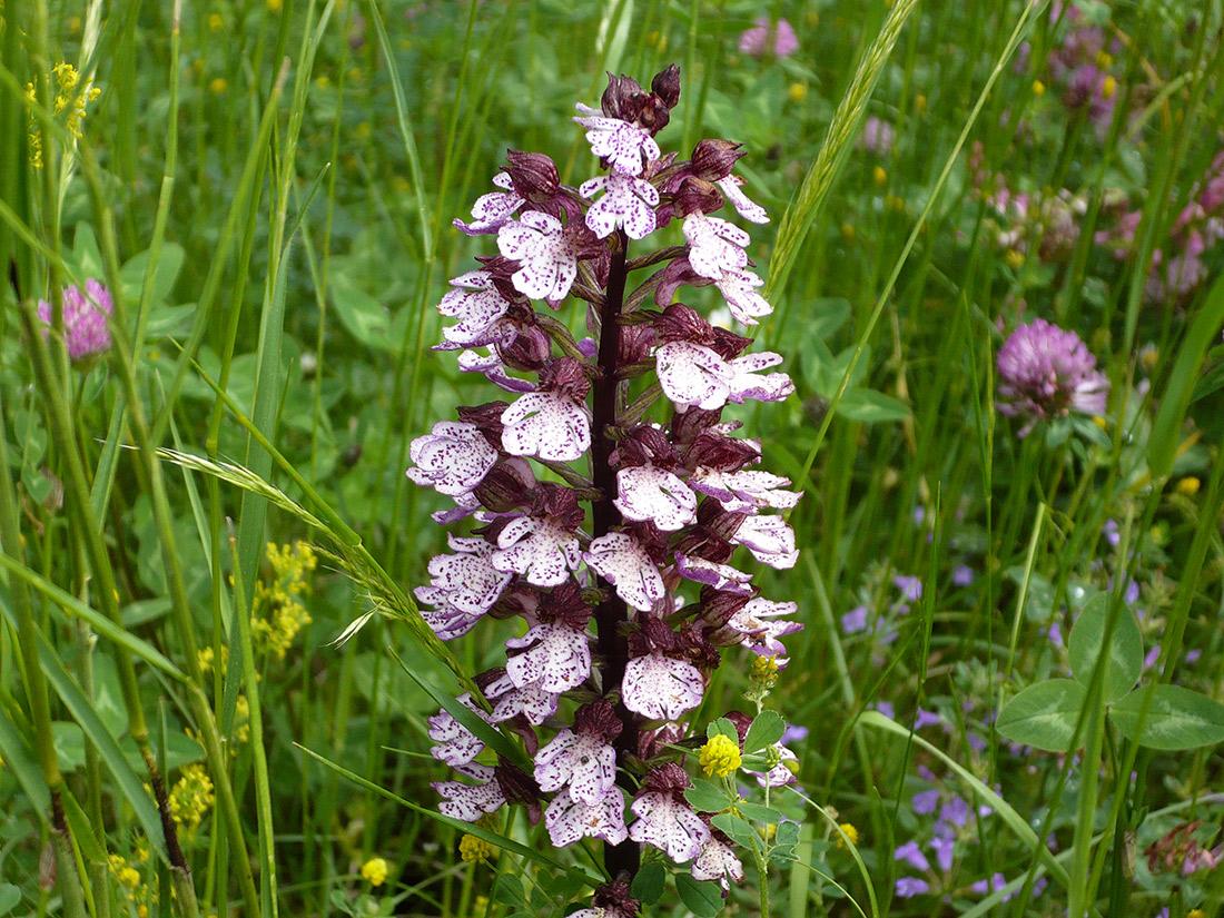 Orchidea-selvatica