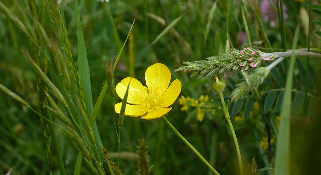 Ranunculus-lanuginosus_Ranuncolo-lanuto