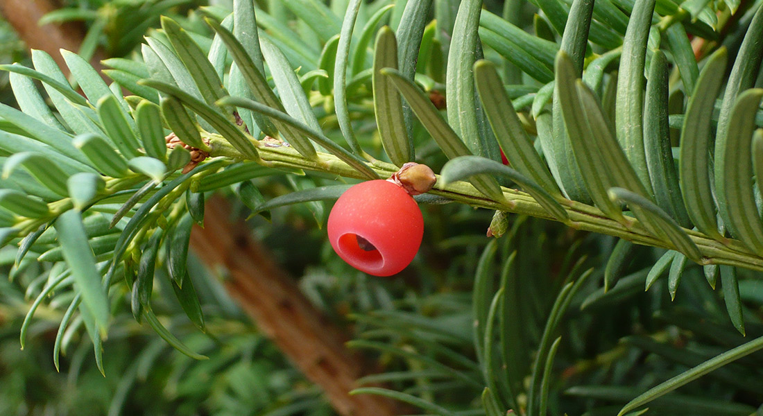 bacca-taxus
