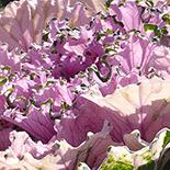 155x155_cavolo-ornamentale