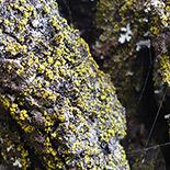 155x155_chrysothrix-candelaris-fungo