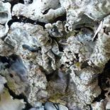 155x155_foliose-lichene