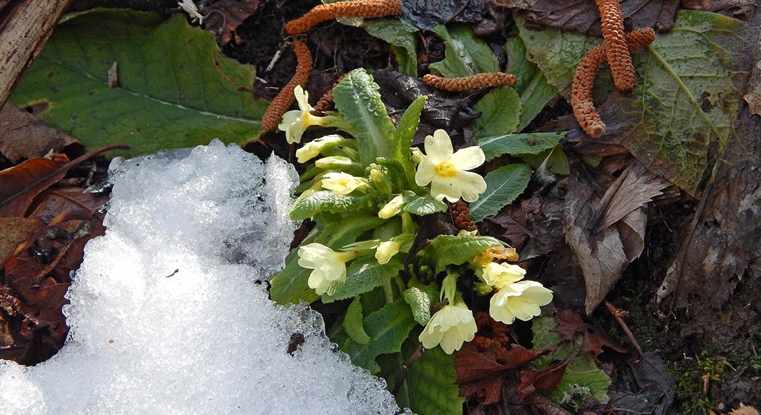 Primule-nella-neve