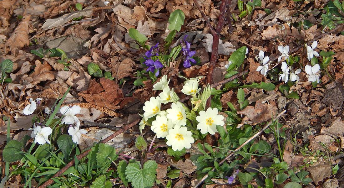 Violebianch-viole-primule