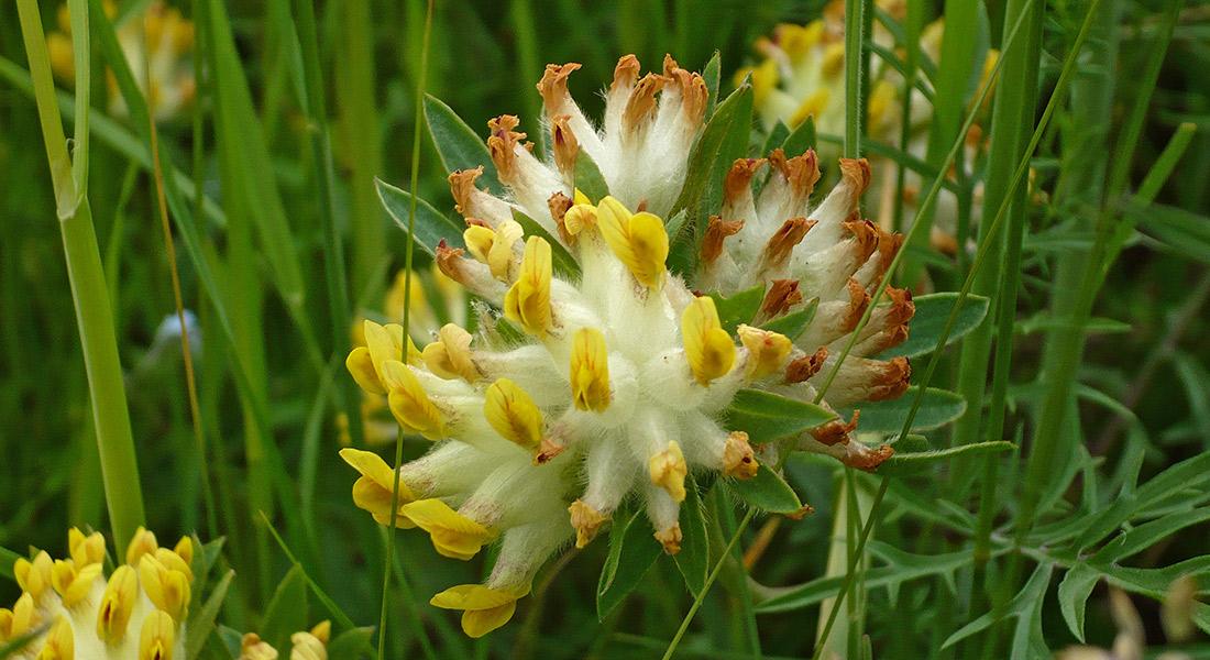 Anthyllis-vulneraria_Vulneraria-comune