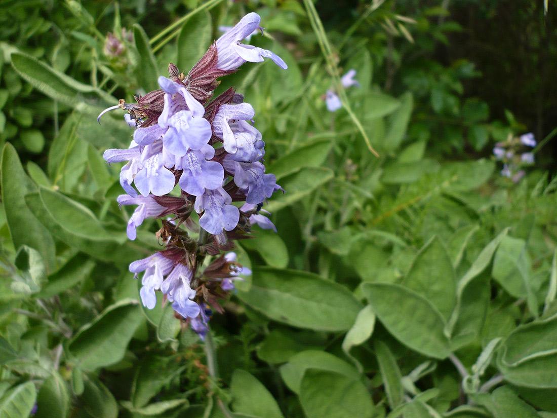 Fiore-di-Salvia