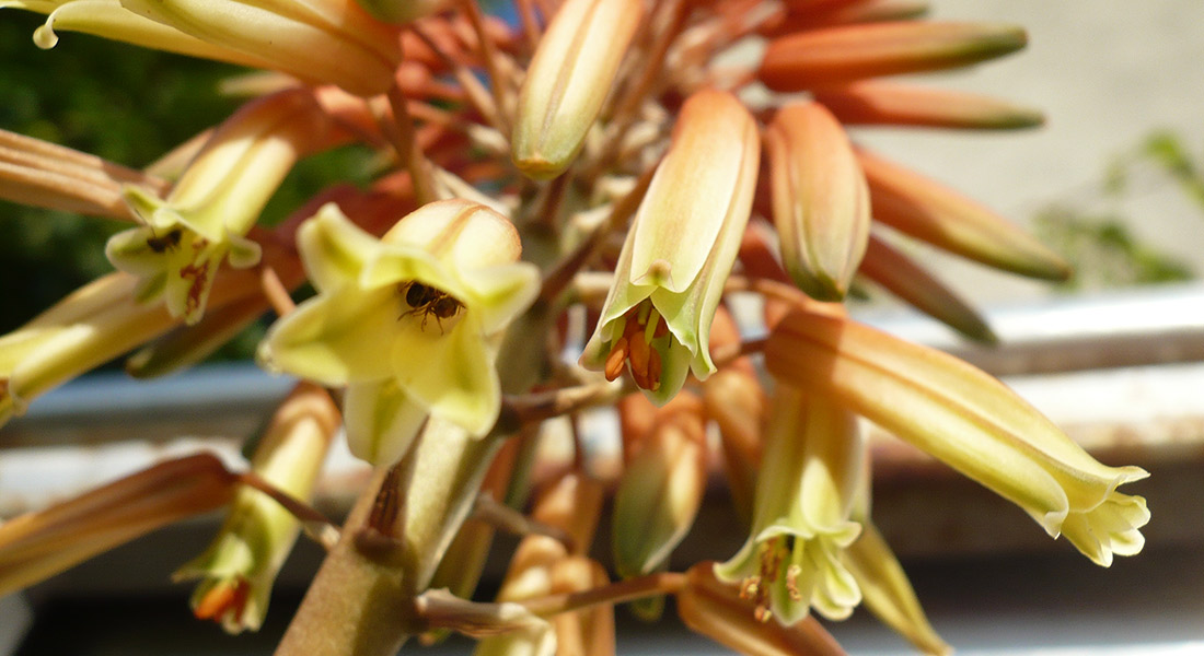 dettaglio-fiore-aloe