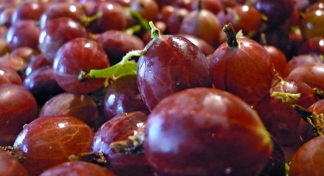 Raccolta-uva-Spina