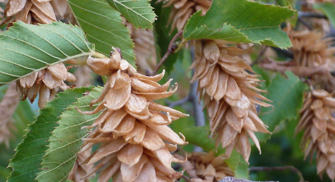 seme-carpino