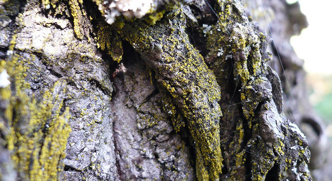 chrysothrix-candelaris-fungo
